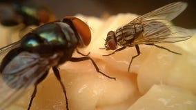 Μύγες στη μακροεντολή κρέατος απόθεμα βίντεο