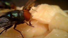 Μύγες στη μακροεντολή 06 κρέατος απόθεμα βίντεο