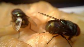 Μύγες στο κρέας μακρο Timelapse 02 φιλμ μικρού μήκους