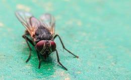 Μύγες της Ασίας Στοκ Φωτογραφίες