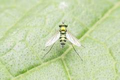 Μύγες φρούτων στοκ φωτογραφία με δικαίωμα ελεύθερης χρήσης