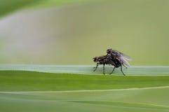 Μύγες στοκ εικόνες