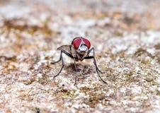 Μύγες Bluebottle Στοκ εικόνα με δικαίωμα ελεύθερης χρήσης