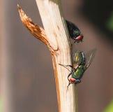 Μύγες BOT στο μίσχο Στοκ φωτογραφία με δικαίωμα ελεύθερης χρήσης
