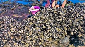 Μύδια συγκομιδής από τους βράχους στην ακτή του Όρεγκον στοκ φωτογραφία