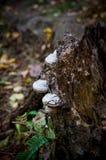 Μύκητας δέντρων στο κολόβωμα Στοκ Εικόνες