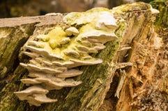 Μύκητας δέντρων Στοκ Φωτογραφίες