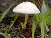 Μύκητας κήπων στοκ εικόνα με δικαίωμα ελεύθερης χρήσης