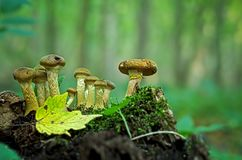 Μύκητας μελιού - Armillaria Στοκ Φωτογραφίες