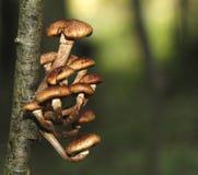 Μύκητας μελιού, borealis Armillaria Στοκ φωτογραφία με δικαίωμα ελεύθερης χρήσης