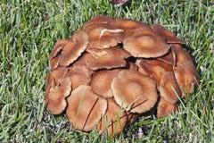 Μύκητας μελιού Ringless Στοκ φωτογραφία με δικαίωμα ελεύθερης χρήσης