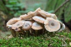 Μύκητας μελιού - Armillaria Στοκ Εικόνες