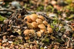 Μύκητας μελιού Ringless Στοκ Εικόνες