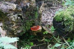 Μύκητας μπριζολών Στοκ φωτογραφία με δικαίωμα ελεύθερης χρήσης