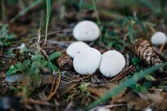 Μύκητας -μύκητας-slicker Στοκ Εικόνα