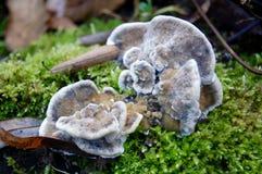 Μύκητας ραφιών με το βρύο Στοκ φωτογραφίες με δικαίωμα ελεύθερης χρήσης