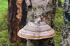 Μύκητας ραφιών Στοκ φωτογραφίες με δικαίωμα ελεύθερης χρήσης