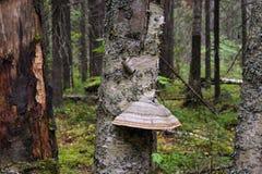 Μύκητας ραφιών Στοκ φωτογραφία με δικαίωμα ελεύθερης χρήσης