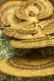 Μύκητας σε ένα δέντρο, μακρο φωτογραφία Στοκ Εικόνες