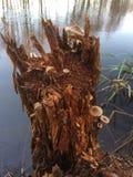 Μύκητας στο κολόβωμα Στοκ Φωτογραφίες