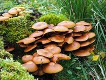 Μύκητας τουφών θείου Στοκ Φωτογραφίες