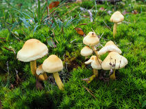 Μύκητας τουφών θείου Στοκ Εικόνες
