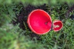 Μύκητας φλυτζανιών νεραιδών Στοκ Φωτογραφίες