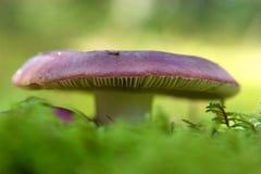 μύκητας Στοκ εικόνα με δικαίωμα ελεύθερης χρήσης