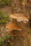 Μύκητας applanatum Ganoderma Στοκ Εικόνες