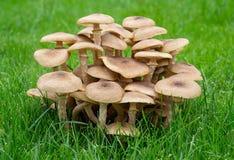 Μύκητας Armillaria - μύκητας μελιού Στοκ φωτογραφίες με δικαίωμα ελεύθερης χρήσης