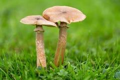Μύκητας Armillaria - μύκητας μελιού Στοκ εικόνα με δικαίωμα ελεύθερης χρήσης