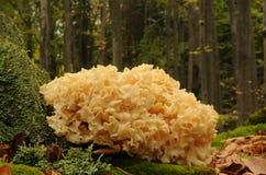 Μύκητας crispa Sparassis Στοκ φωτογραφίες με δικαίωμα ελεύθερης χρήσης