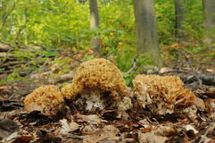 Μύκητας flava Ramaria Στοκ εικόνα με δικαίωμα ελεύθερης χρήσης