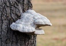 Μύκητας Polypore Στοκ Εικόνες