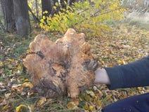 Μύκητας SWINOG Στοκ Εικόνες