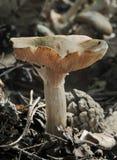 μύκητας webcap Στοκ φωτογραφία με δικαίωμα ελεύθερης χρήσης