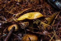 Μύκητες που κρύβουν έξω στο δάσος στοκ φωτογραφία με δικαίωμα ελεύθερης χρήσης