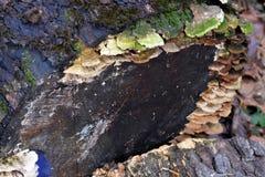 Μύκητες στο σαπίζοντας κούτσουρο Στοκ Φωτογραφία