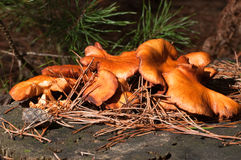 μύκητες συλλογής Στοκ Φωτογραφία