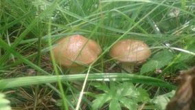 μύκητες δύο Στοκ Εικόνες