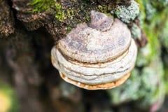 Μύκητες Polypore σε ένα παλαιό κολόβωμα Στοκ Φωτογραφία