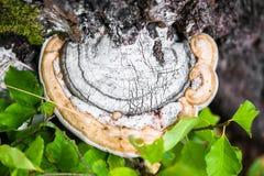 Μύκητες Polypore σε ένα παλαιό κολόβωμα Στοκ εικόνες με δικαίωμα ελεύθερης χρήσης