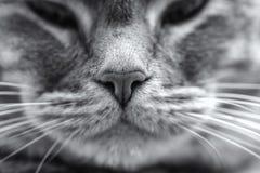 Μύτη γατών. Στοκ Εικόνες