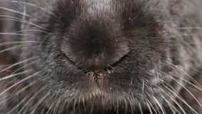 Μύτη ενός γιγαντιαίου εσωτερικού κουνελιού Φλαμανδική περιοχή απόθεμα βίντεο