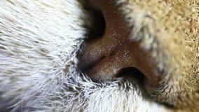 Μύτη μιας τιγρέ γάτας μακρο στενό σε έναν επάνω απόθεμα βίντεο