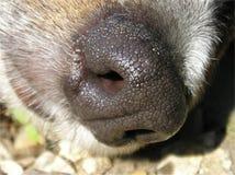 μύτη σκυλιών στοκ εικόνες