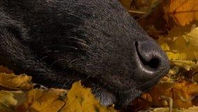 Μύτη σκυλιών στα κίτρινα φύλλα απόθεμα βίντεο