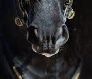 Μύτη του ισπανικού αλόγου στα σκοτεινά χρώματα Στοκ Εικόνα