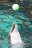 μύτη δελφινιών μπουκαλιών Στοκ Φωτογραφία
