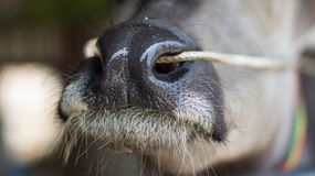 Μύτη Buffalo Στοκ Εικόνες